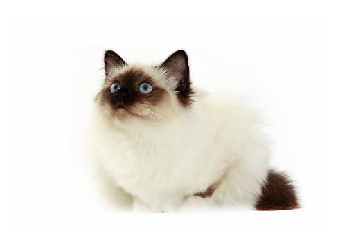 ビルマネコ「Studio shoot of Birman cat」:スマホ壁紙(8)