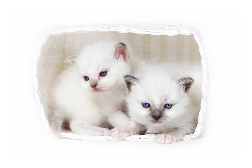 ビルマネコ「Studio shoot of Birman cat kitten in an basket」:スマホ壁紙(17)