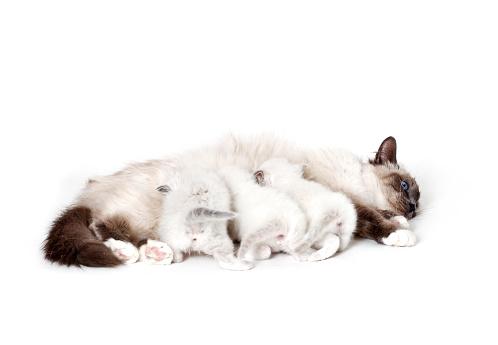 ビルマネコ「Studio shoot of Birman cat mother and her kitten」:スマホ壁紙(19)