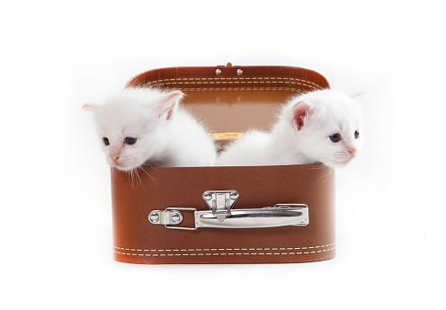 ビルマネコ「Studio shoot of Birman cat kitten in a suitcase」:スマホ壁紙(13)