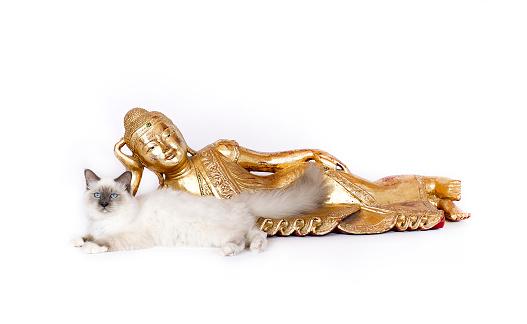 ビルマネコ「Studio shoot of a Birman cat in front of a Buddha」:スマホ壁紙(18)