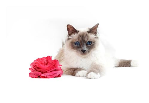 ビルマネコ「Studio shoot of a Birman cat with a rose」:スマホ壁紙(6)