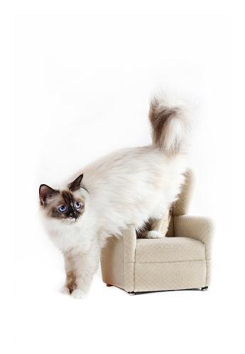 ビルマネコ「Studio shoot of a Birman cat on a chair」:スマホ壁紙(14)