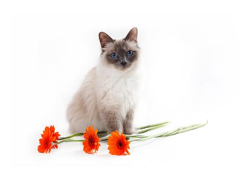 ビルマネコ「Studio shoot of a Birman cat with flowers」:スマホ壁紙(9)