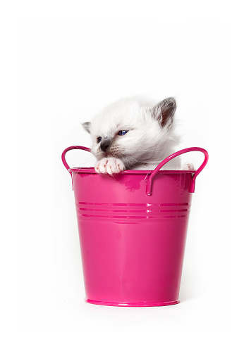 ビルマネコ「Studio shoot of a Birman cat in a bucket」:スマホ壁紙(14)