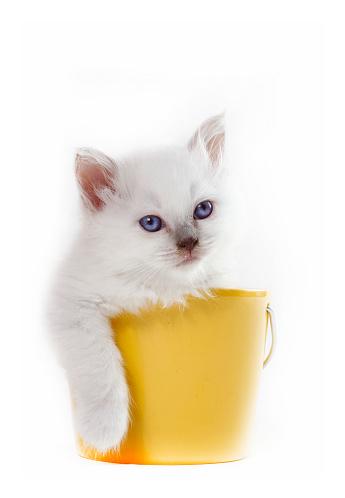 ビルマネコ「Studio shoot of a Birman cat kitten in a bucket」:スマホ壁紙(12)