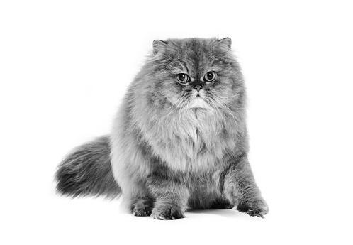 ペルシャネコ「Studio shoot of cat, black and white」:スマホ壁紙(13)