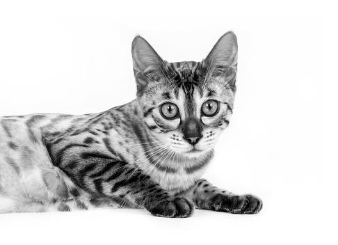 ベンガル猫「Studio shoot of cat, black and white」:スマホ壁紙(9)