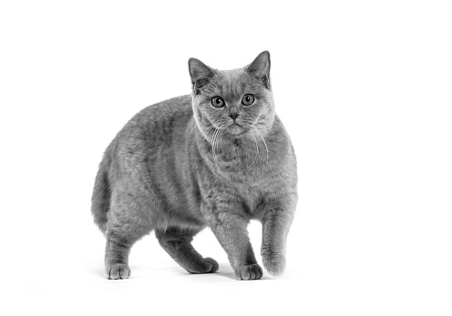 British Shorthair Cat「Studio shoot of cat, black and white」:スマホ壁紙(15)