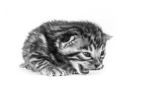 ベンガル猫「Studio shoot of cat, black and white」:スマホ壁紙(14)
