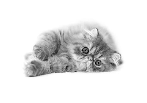 ペルシャネコ「Studio shoot of cat, black and white」:スマホ壁紙(14)