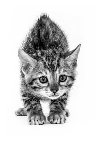 ベンガル猫「Studio shoot of cat, black and white」:スマホ壁紙(13)