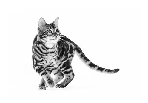ベンガル猫「Studio shoot of cat, black and white」:スマホ壁紙(10)