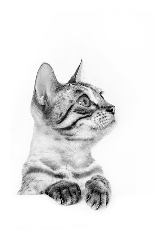ベンガル猫「Studio shoot of cat, black and white」:スマホ壁紙(5)