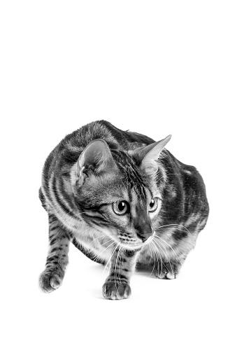 ベンガル猫「Studio shoot of cat, black and white」:スマホ壁紙(11)