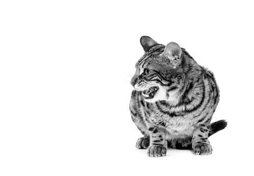 ベンガル猫「Studio shoot of cat, black and white」:スマホ壁紙(4)