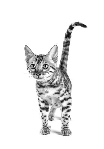 ベンガル猫「Studio shoot of cat, black and white」:スマホ壁紙(8)