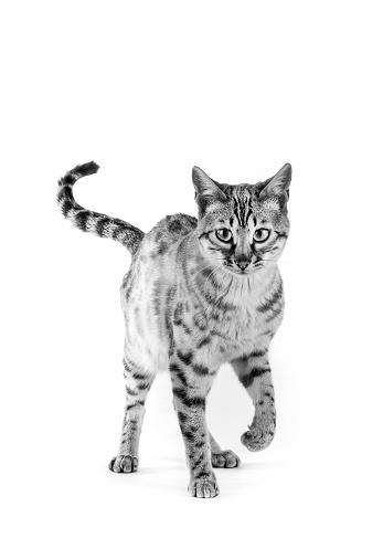 ベンガル猫「Studio shoot of cat, black and white」:スマホ壁紙(7)