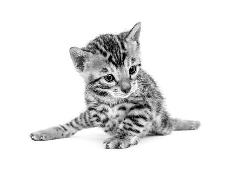 ベンガル猫「Studio shoot of cat, black and white」:スマホ壁紙(12)