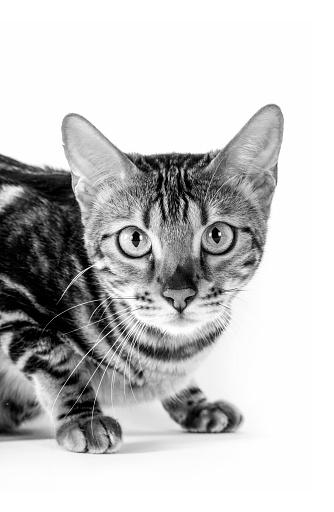 ベンガル猫「Studio shoot of cat, black and white」:スマホ壁紙(6)