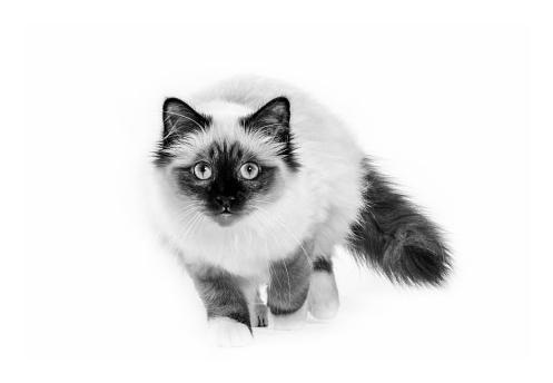 ビルマネコ「Studio shoot of cat, black and white」:スマホ壁紙(13)