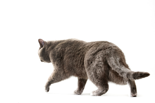 British Shorthair Cat「Studio shoot of British shorthair cats」:スマホ壁紙(14)