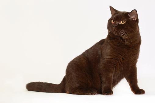 黒猫「Studio shoot of British shorthair cats」:スマホ壁紙(2)