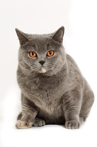 ショートヘア種の猫「Studio shoot of British shorthair cats」:スマホ壁紙(10)