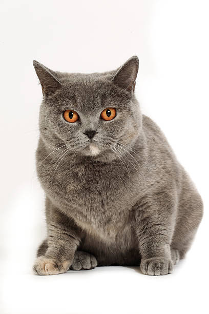 Studio shoot of British shorthair cats:スマホ壁紙(壁紙.com)