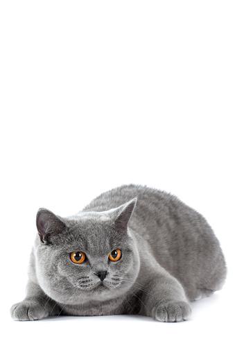 ショートヘア種の猫「Studio shoot of British shorthair cats」:スマホ壁紙(19)