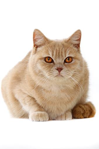 ショートヘア種の猫「Studio shoot of British shorthair cats」:スマホ壁紙(17)
