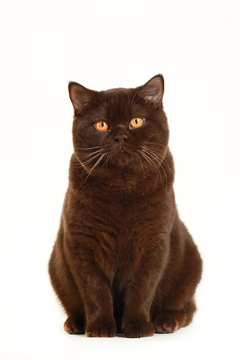 Looking At Camera「Studio shoot of British shorthair cats」:スマホ壁紙(10)