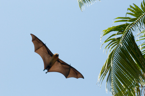 French Overseas Territory「Seychelles Fruit Bat or Seychelles Flying Fox (Pteropus Seychellensis Comorensis) flying overhead, Mayotte, Indian Ocean」:スマホ壁紙(17)