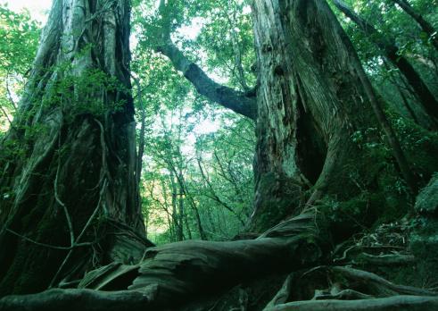 Sequoia Tree「Yaku Cedar」:スマホ壁紙(10)