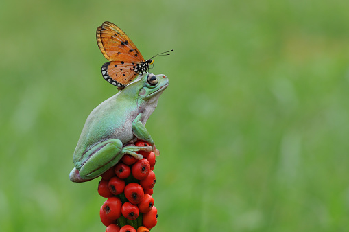 Green Background「Butterfly on top of a frog on a plant, Indonesia」:スマホ壁紙(5)