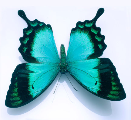 ガラス「Butterfly on white」:スマホ壁紙(3)