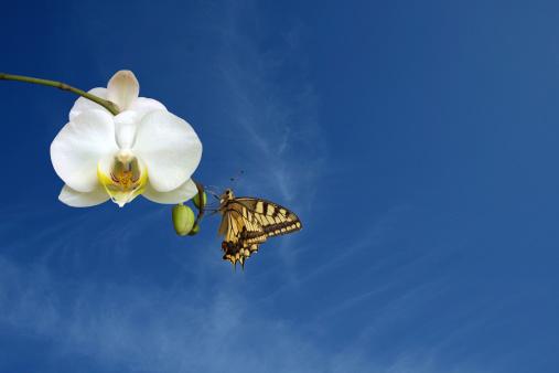 虫・昆虫「バタフライにホワイトの蘭の花」:スマホ壁紙(19)