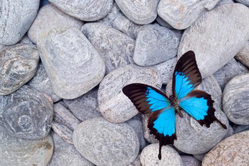 Lepidoptera「Butterfly on pebbles」:スマホ壁紙(19)