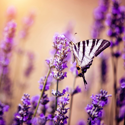 French Lavender「Butterfly on lavender」:スマホ壁紙(15)