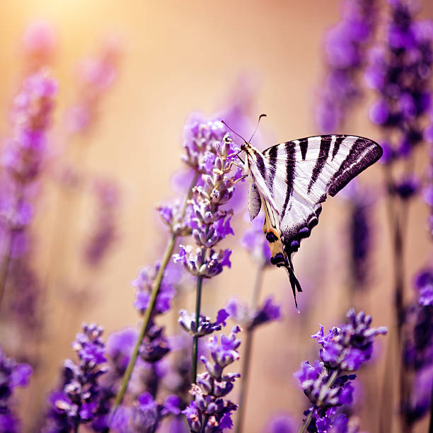 Butterfly on lavender:スマホ壁紙(壁紙.com)