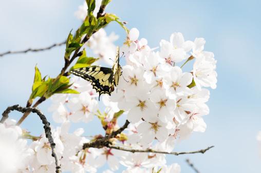 Apricot Tree「Butterfly on Fruit Tree Flower」:スマホ壁紙(12)