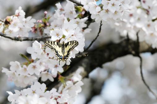 Apricot Tree「Butterfly on Fruit Tree Flower」:スマホ壁紙(13)