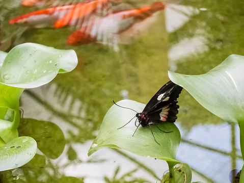 Carp「Butterfly on leaf over Koi pond」:スマホ壁紙(0)