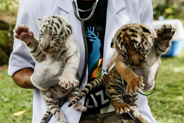 animal「New Born Bengal Tiger Cubs At Bali Zoo」:写真・画像(13)[壁紙.com]