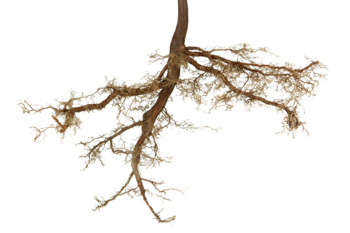 Development「Roots Isolated」:スマホ壁紙(2)