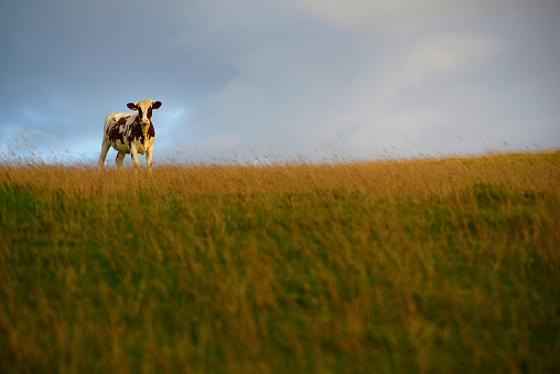 Focus On Background「Cow standing in grassy field」:スマホ壁紙(8)