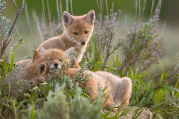 Three coyote pups resting in grass, Jackson Hole, Wyoming, United States:スマホ壁紙(壁紙.com)