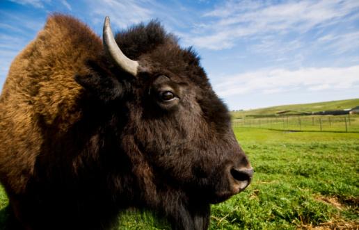 Horned「Female Bison on farm, close-up」:スマホ壁紙(13)