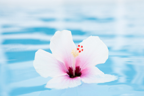 hibiscus「Hibiscus tropical flower floating on water」:スマホ壁紙(7)