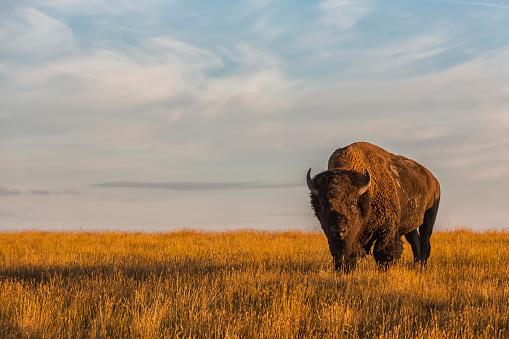 cloud「Bison (bison bison), Grasslands National Park」:スマホ壁紙(10)